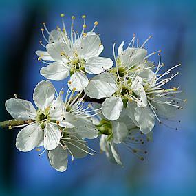 Damson blossom by Caroline Beaumont - Flowers Tree Blossoms ( damson blossom )
