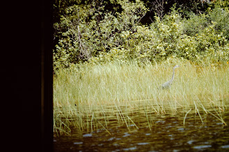 Photo: Blue Heron in rushes.