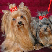 Yorkshire Terrier Images Wal
