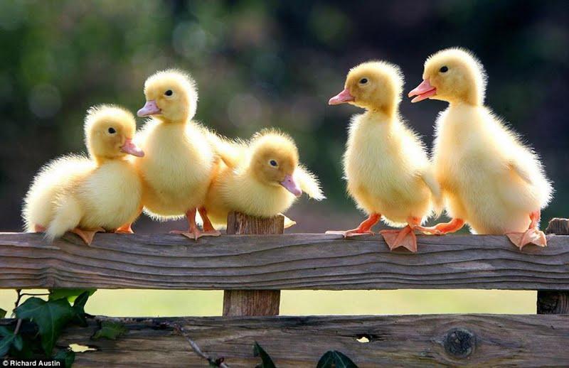 spring-chicks-163815.jpg