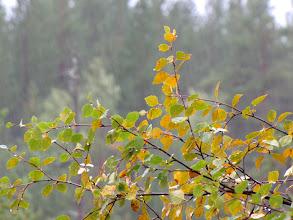 Photo: Maandag heeft het de hele dag pijpestelen geregend in Salla. Er viel meer dan 20mm neerslag. Opvallend waren ook de eerste herfstkleuren in de berkenblaadjes.