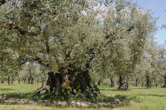 Photo: Another look at the second oldest olive tree in Italy from a different angle