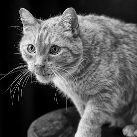 Lucky by Susan Pretorius - Animals - Cats Portraits