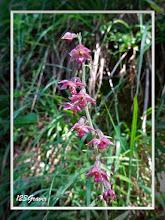 Photo: Helléborine rouge sombre, Epipactis atrorubens