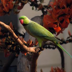 Rose Ringed Parakeets by Sanjib Laha - Animals Birds