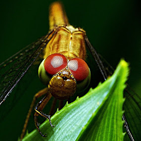 The dragonfly by SHAMSOL BAHREN ABAS - Animals Insects & Spiders