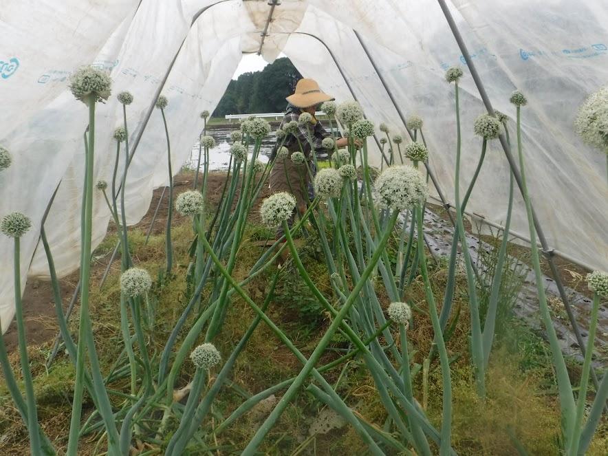 玉ねぎの種採り。キュウリネットパイプを利用して雨よけし、毎日手で受粉する