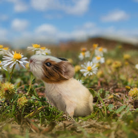 Enjoy the Journey by Carole Pallier  - Digital Art Animals ( art, daisies, flowers, field, nature, composite, animal, guineapig, manipulation, pet )