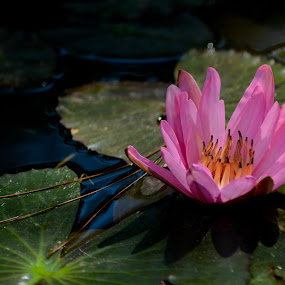 lake deity by Karl Sena - Nature Up Close Flowers - 2011-2013 ( water, lilies, nymphaeaceae, lake, close up, nymph, nature, lily, female, deity, pink, water lily, flower )