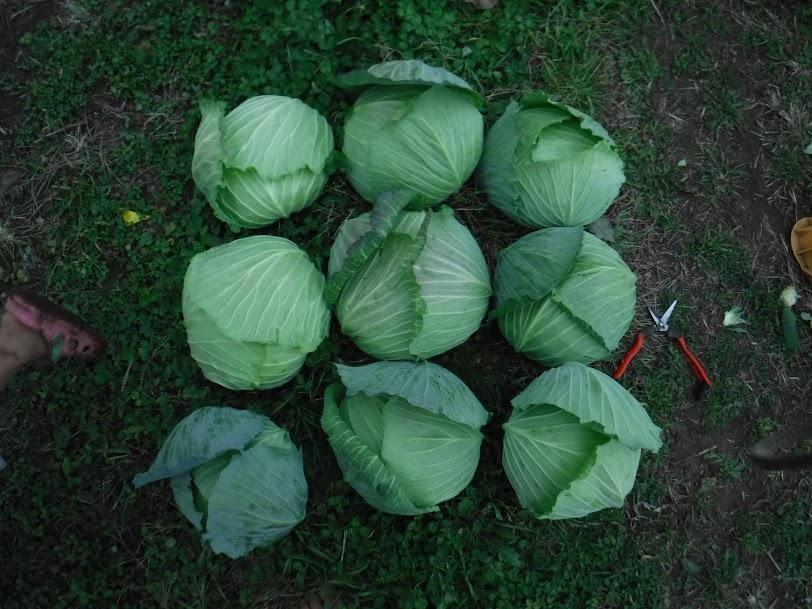 キャベツの初出荷。大物1.5kgが2玉、1.2kg以上が4玉、値段が高くなっちゃうので、あんまり大きくないのも選んで収穫。