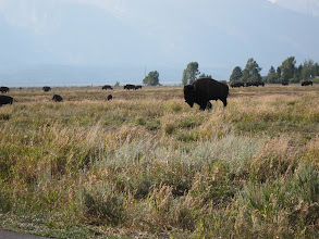 Photo: Buffalo herd near Mormon Row