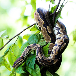 Chillin' by Deborah Murray - Animals Reptiles ( python, green, color, outdoors, daylight, outside, snake, tree, animal, reptile,  )