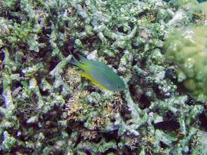 Photo: Unidentified Damselfish, Naigani Island, Fiji