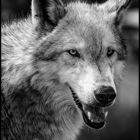Grey Wolf by Dave Lipchen - Black & White Animals ( grey wolf, black and white )