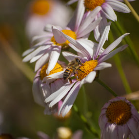 Bee up close 2 by Eric Klein - Animals Insects & Spiders