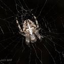 cross spider