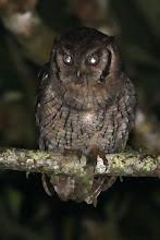 Photo: Tropical Screech-Owl