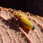 Black-Tipped Leafhopper