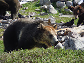 Photo: More grizzly bears! These are very interested in the food hidden all around their area under rocks and in pools. Also, crows are thieves.