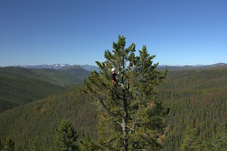 Photo: Josh collecting data in a whitebark pine canopy at Blue Nose