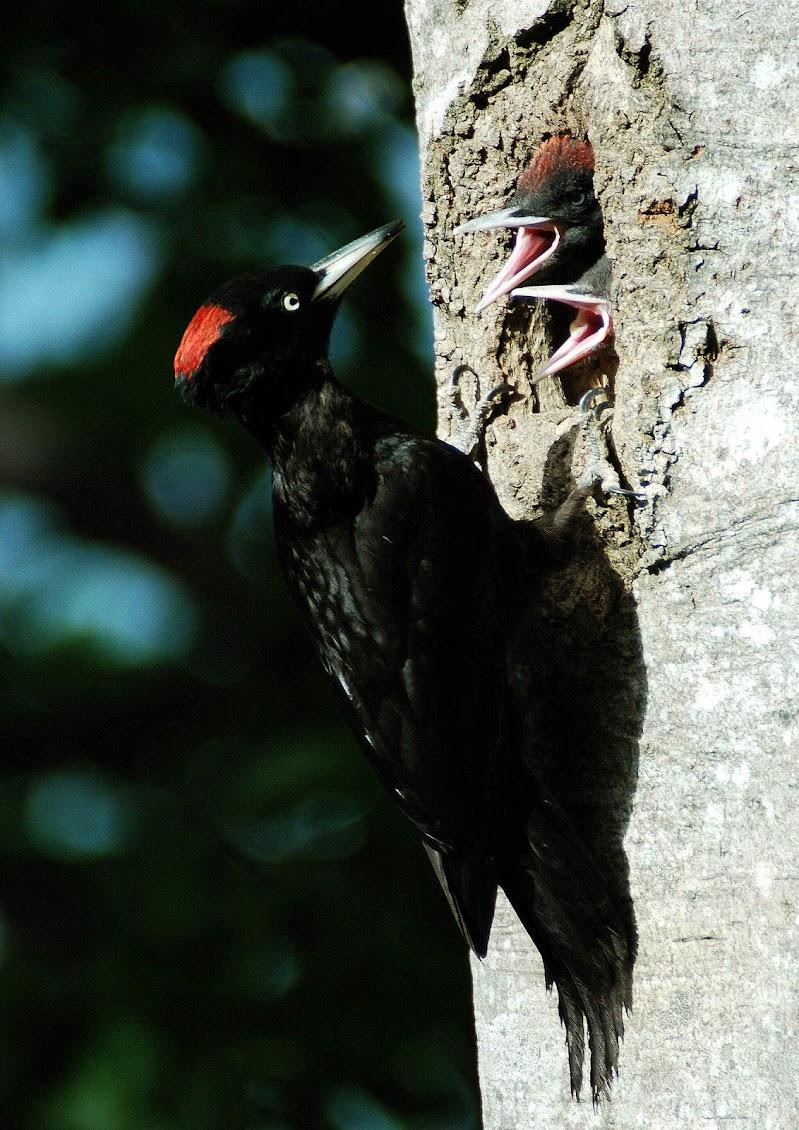Picchio nero con i suoi pulcini di benny48