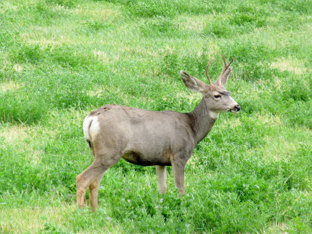 A happy little 1x2 buck eating alfalfa