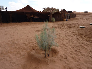Photo: This photo gives a good impression of tamarisk grafts, now 1 year, planted in the Groasis waterboxx.
