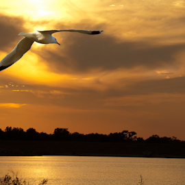 Seagull over Holmes Lake by Gayle Mittan - Digital Art Animals ( oranges, dusk, storm clouds, nebraska, clouds, water, summer, seagull, afternoon, horizon, fly, waterscape, flying, sunset, bird, silhouette, lake, landscape )