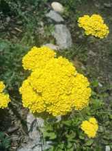 Photo: Yarrow: Achillea millefolium The plant has a strong, sweet scent, similar to chrysanthemums.It is native to temperate regions of the Northern Hemisphere in Asia, Europe, and North America. The whole plant is covered in white, silky hairs.