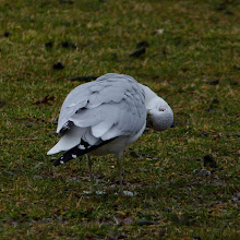 Photo: Ring-billed Gull