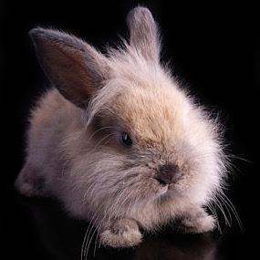 Furry bunny by Kris Hartanto - Animals Other ( rabbit, bunny, furry, cute )