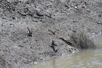 Photo: Barn Swallows collecting mud