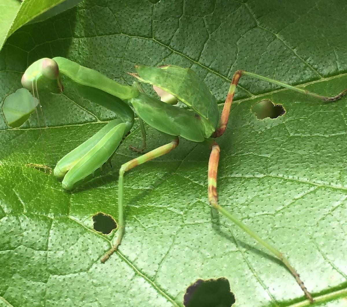 Asian Giant Mantis (nymph)