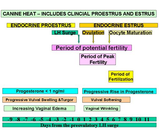 Representación esquemática del proestro y del estro canino, mostrando los períodos de fertilidad, de máxima fertilidad y de fertilización para el servicio natural y su relación con los momentos del pico preovulatorio de LH, de la ovulación y de la maduración del oocito