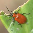 Lily Leaf Beetle