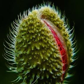 bursting forth 1 by Ray Heath - Flowers Flower Buds ( poppy: red poppy, detail, macro, summer, garden, flower, poppy head,  )