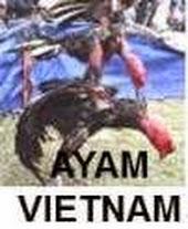 Gambar sabung ayam saigon ayam vietnam di acara festival