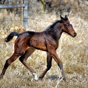 Queenie ! by Jan Siemucha - Animals Horses ( playing, pwcbabyanimals, colt, horse, baby, running, animal, foal )