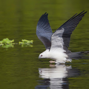 Swallow-tailed Kite Bedet  by Scott Helfrich - Animals Birds ( bird, swallowtailedkite, florida, kite, wildlife, birds )