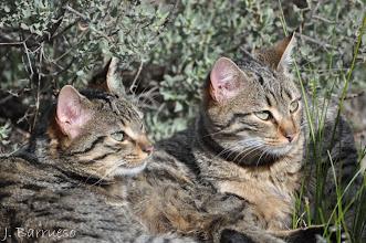 Photo: Gatos monteses jóvenes que se solean en Doñana. Los vimos por casualidad. Volvimos varias veces más y nunca los volvimos a ver. Un mirada preciosa.