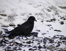 Photo: Northwestern Crow on the Homer Spit