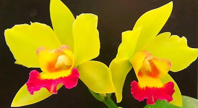 Photo: Cattleya hybrid orchid