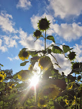 Photo: Sunlight exploding through sunflowers at Cox Arboretum and Gardens of the Five Rivers Metroparks in Dayton, Ohio.