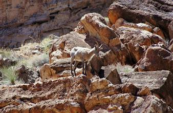 Photo: Desert Bighorn