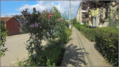 Photo: Hibiscus, Zămoșiță de Siria (Hibiscus syriacus) - de pe Str. Panselutelor - 2017.07.13