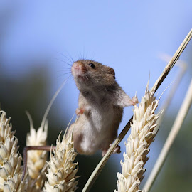 Harvest Mouse by Carey Jacobsen - Novices Only Wildlife ( british wildlife centre )