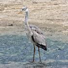 Grey Heron (फुस्रो बकुल्ला)