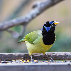 Green Jay by Angie Birmingham - Animals Birds ( bird, green, texas, south, songbird, jay )