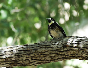 Photo: Acorn Woodpecker, Madera Canyon, Arizona; note the tiny red patch at the upper border of the black breast-band, common among birds of this subspecies