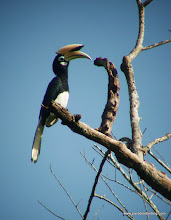 Photo: Pied Hornbill, Kinabatangan River